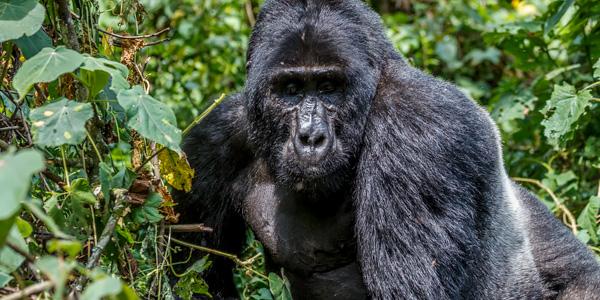 04-3-days-gorilla-special-2125